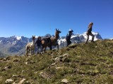 Stroll in summer with llama